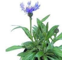 Shop Meeko Centaurea montana - Montagne Bleuet - 25 graines