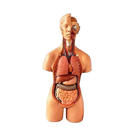 Modelo anatómico de la anatomía del Cuerpo Humano Que enseña la Estructura del Sistema del órgano Desmontable del Torso