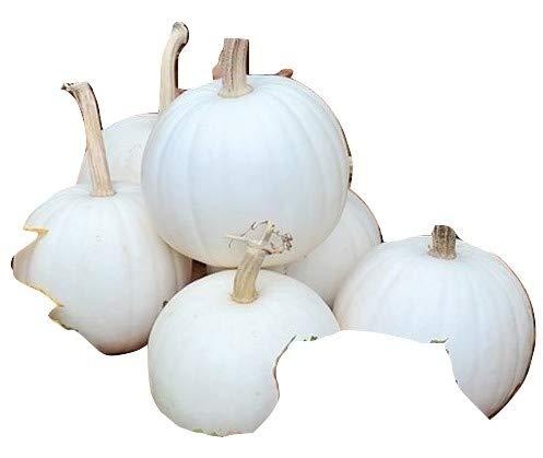 Ungarischer Speisekürbis Snowball, delikat 10 Samen, von unserer ungarischen Farm samenfest, nur natürliche Dünger, KEINE Pesztizide, BIO hu-öko-01