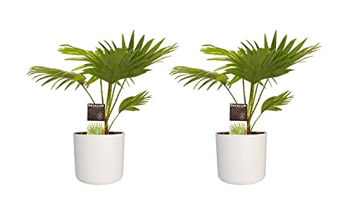 Palme 2x Livistona im Topf D. 14 cm Höhe 45 cm | Zimmerpflanze | Pflanze