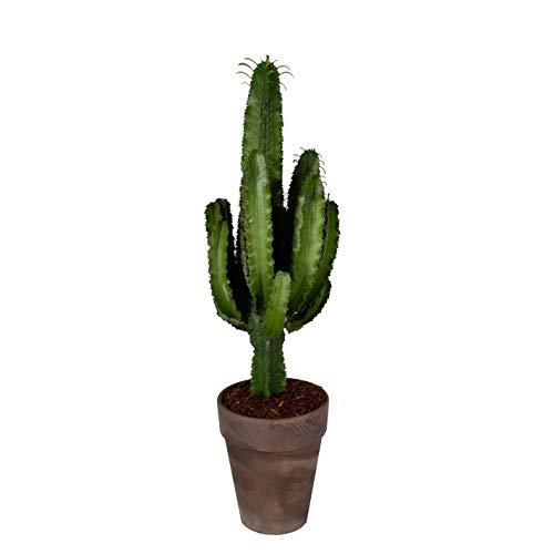 Kaktus – Wolfsmilch Kaktus in braunem Terrakotta Topf als Set – Höhe: 90 cm