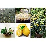 50 pièces / sac Lemon Tree Seeds Haute survie Graines Taux bonsaï de fruits pour la maison Gatden Bonsai Lemon Seeds
