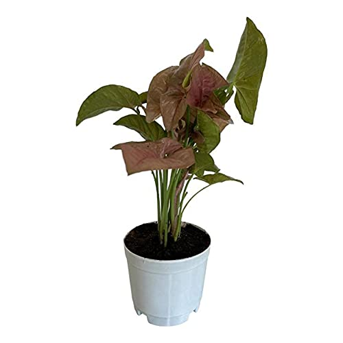 Growkaro Air Purifying Pink Syngonium Live Plant | Arrow Head Indoor Plant with White Nursery Pot for Decorating Home | Garden | Office Desk | Perfect for Gifting