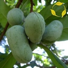 Papaya Asimina triloba - 5 Semillas
