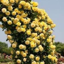 SVI GELBE KLETTERROSE Spalier Gartenlaube Dekor 20, 200 oder 2000 Samen (2000)
