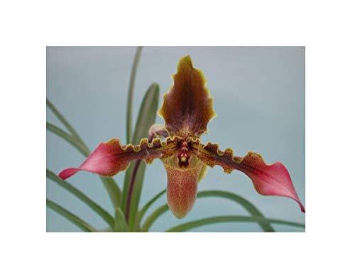Stk - 2x Paphiopedilum hirsutissimum Sämling Orchidee Pflanze OWD188 - Seeds Plants Shop Samenbank Pfullingen Patrik Ipsa