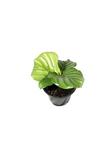 Calathea Orbifolia – Live Plant in a 4 Inch Pot – Calathea Orbifolia – Beautiful Easy to Grow Air Purifying Indoor Plant