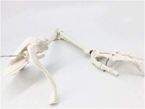 Knochenmodell Der Oberen Extremitäten - Medizinisches Anatomisches Menschliches Skelettmodell Der Oberen Extremitäten - Bildungsmodell Armknochen Schulterblatt Schlüsselbein Oberarmknochen Modell des