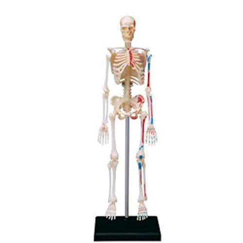 TOMMY LAMBERT Skelettmodell 4D Skelett Modell 46-teiliges Menschliches Anatomie Modell 185 mm, Skelett Modell Baugruppe,Kann für medizinischen Unterricht, Krankenhauskliniken verwendet Werden