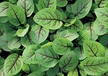 Il vous suffit de graines fines herbes???Sorrel Rouge vein???oseille Acetosa 'Rouge' vein???200?graines