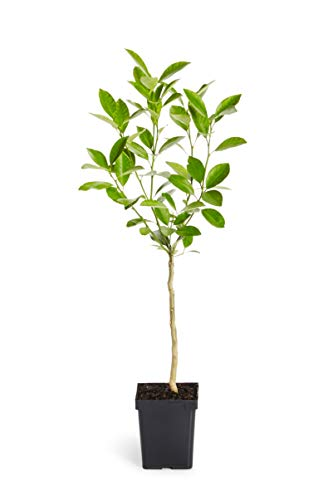 Calamondin Orange Tree - Indoor/Outdoor Patio Citrus Trees, Ready to Give Fruit - 1-2 feet tall - Cannot Ship to FL, CA, TX, LA or AZ