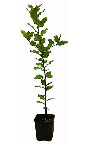 Seedeo® Steineiche (Quercus ilex) Pflanze ca. 30-40 cm