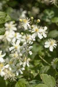 Clematis flammula Waldrebe Kletterpflanze im Topf gewachsen (60-100cm)