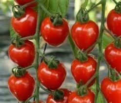 Il vous suffit de graines de tomate???Cerises Tomatoberry???5?graines