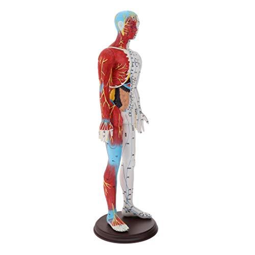 SM SunniMix 60cm Akupunktur Modell Anatomie Skelett Figur Statue aus Kunststoff