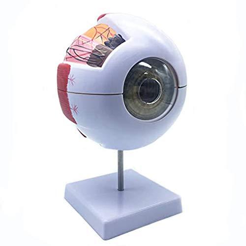 El Modelo de Globo Ocular es 6 Veces Mayor Y Puede Mostrar la Estructura Interna Del Globo Ocular, Córnea, Iris, El Cristalino Y El Cuerpo Vítreo,Modelo De Enseñanza Médica, Para Ayuda de Formación