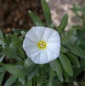 Silberwinde - Convolvulus cneorum