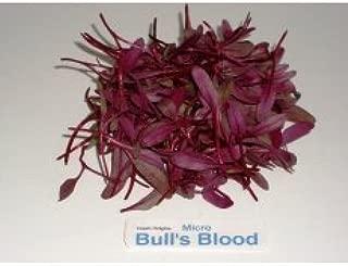 Micro Greens - Bull's Blood - 4 x 8 oz