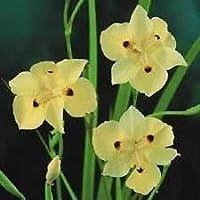25+黄色の2週間のユリ/干ばつそしてForst Hardy/花の種