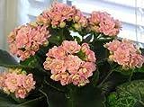 Genipap 50 piezas de semillas de flores de Kalanchoe