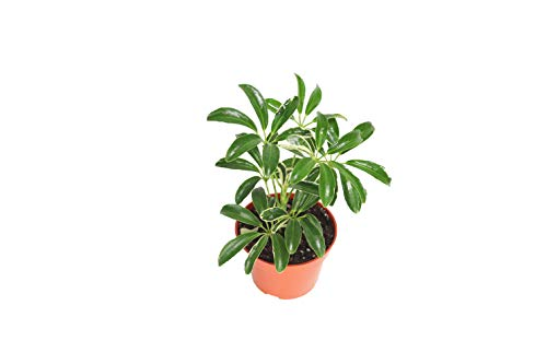 Schefflera Arboricola 'Umbrella Plant' Variegated' - 4'' from California Tropicals