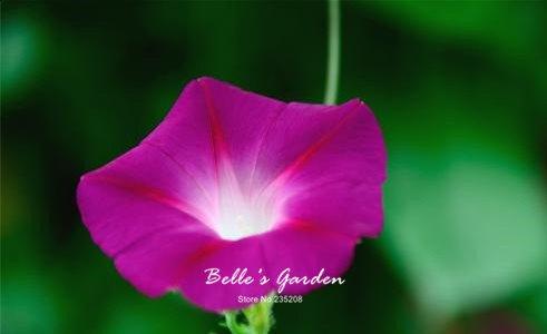 100 pcs/sac graines de pétunia, pétales de double graines de fleurs de pétunia, plante en pot bonsaï vivaces pour le jardin de la maison 2