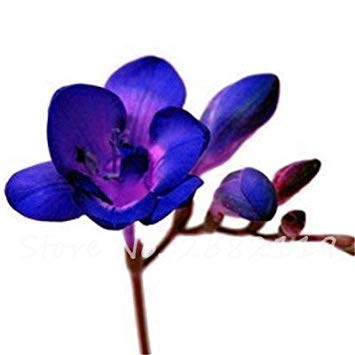 Potseed 100 Stück Freesie Samen Schöne Blumen Orchid Freesie Rhizome Bulbous Blumen Mischung Farben So Fragrant für Gartendeko 17