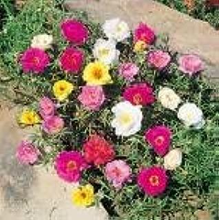 100 Portulaca Double Moss Rose Seeds