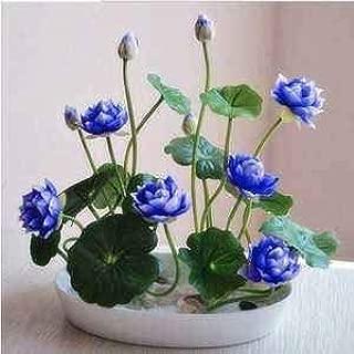 20pcs Lotus Seeds Water Lotus Seeds for Planting Mini Flower Seeds Bowl Lotus Seeds for DIY Home Planting