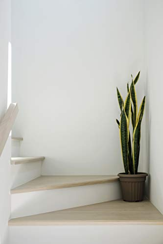 Live Snake Plant, Sansevieria trifasciata Laurentii, Fully Rooted Indoor House Plant in Pot, Mother in Law Tongue Sansevieria Plant, Potted Succulent Plants, Sansevieria laurentii by Plants for Pets