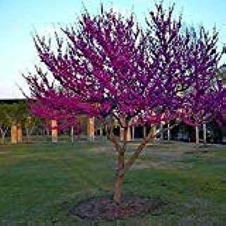 東Redbudツリーの種子(Cercisカナデンシス)20個の+種子(40+)