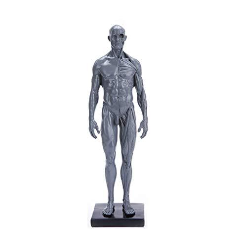 BESPORTBLE Anatomie Figur Naturharz Männlich Muskuloskelettale Struktur Modell Menschliche Schaufensterpuppe Torso Modell Anzeige Handwerk Lehrmittel zum Malen Skulptur Zeichnung