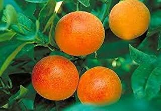 Best blood orange tree for sale florida Reviews