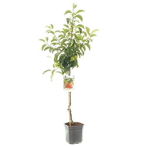 Malus domestica 'Pinova' 160-180 cm Winterapfel 'Pinova' Apfelbaum