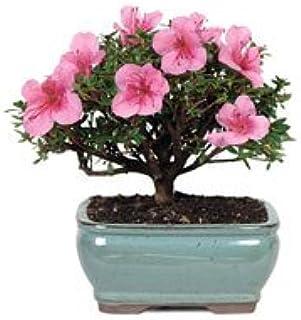 Amazon Com Bonsaioutlet Bonsai Tree Satsuki Azalea Bonsai Plants Garden Outdoor