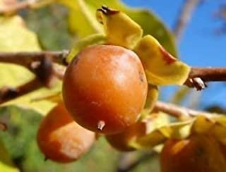 Date Plum Persimmon Fruit Tree, 30+ Premium Quality Tree Seeds, Exotic & Rare, 80% Germination, (Isla's Garden Seeds), Non GMO, Highest Quality!