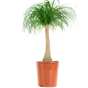 Kamerplant van Hellogreen - Olifantspoot Beaucarnea - Hoogte: 80cm