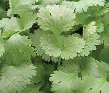 Il vous suffit de graines fines herbes???Coriandre Leisure???Coriandrum Sativa Leisure '? 1000?graines