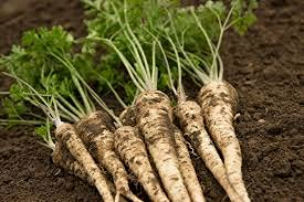 Genipap Semillas de hortalizas de raíz de perejil