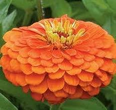 HNM 15 Seeds King Zinnia Orange Easy to Grow - LY1110