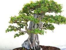 50 Chinese Elm Tree Seeds - Bonsai États-Unis de Ulmus parvifolia lacebark - BKSeeds