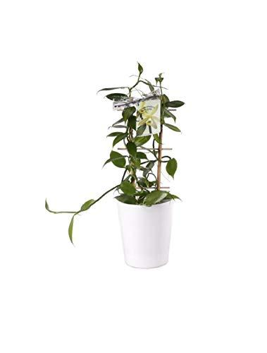 Stk - 1x Echte Vanille inkl. Übertopf Rankegitter Orchidee Pflanze OW76 - Seeds Plants Shop Samenbank Pfullingen Patrik Ipsa
