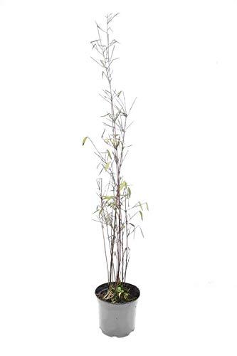 Fargesia jiuzhaigou 1 - Jade Bambus Original ® - 40-60cm - 1 Ltr. - 2-5 Triebe