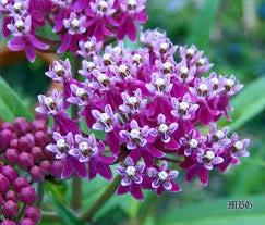 培育花蜜沼泽马利筋-100多包传家宝、非转基因、无化学成分种子|当地种植和收获|吸引帝王和蜜蜂的美丽植物