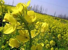 SAGEAWAY Las Semillas de Colza de Flores Amarillas