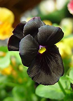 Fash Lady 70mg schwarze Stiefmütterchen Blumensamen Viola Pansies klare Kristalle 55 + Samen ~ Atlas Goth