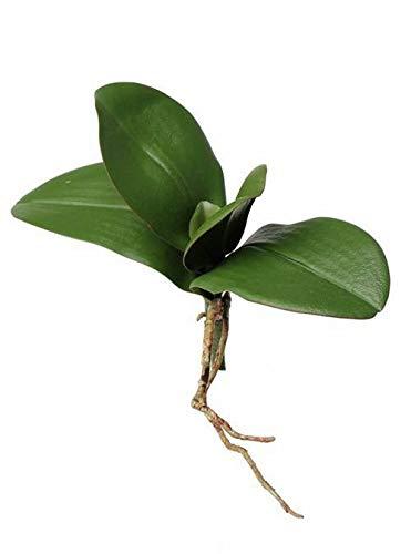 artplants.de Hojas de Phalaenopsis con raíce