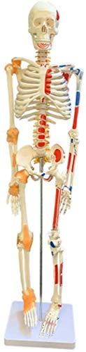 LBYLYH Bildungs-Modell Modell der menschlichen Anatomie Skelett mit Muskeln und Bänder des Körpers an das Haus Wissenschaft Schule Clinic Ausbildung Tutorial 85 cm für die Schule