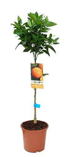 Planta de fruta de Botanicly – Árbol de Naranja – Altura: 90 cm – Citrus Sinensis