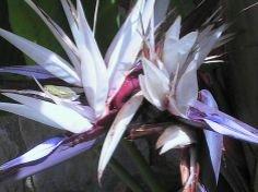 Nouveau Oiseau du Paradis Géant Blanc Fleur, Strelitzia Nicolai Maison Plante 10 graines!
